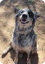 pomeranian x australian shepherd parker adopted dog burleson tx australian shepherd