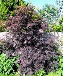 sambucus black lace elderberry elder nigra ornamental