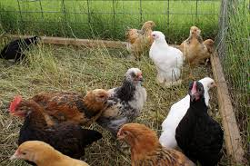 Backyard Chickens Com by Looking For Fellow Alberta Chicken Freaks Backyard Chickens