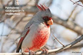 cardinal cousin pyrrhuloxia birds and blooms