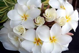 plumeria flower plumeria flower meaning flower meaning