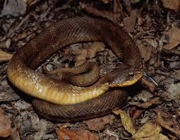 eastern hog nosed snake spread head puff adder hissing viper