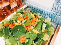 nasturtium flowers she s a bottler how to dehydrate nasturtium leaves and flowers