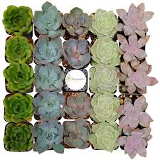 succelents succulents u0026 cactus plants garden plants u0026 flowers the home depot
