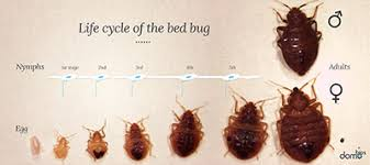 How Often Do Bed Bugs Reproduce Bed Bugs