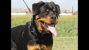 belgian shepherd for sale philippines indian rottweiler puppy for sale euro puppy