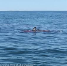 great white shark spotted feeding on seal off cape cod necn