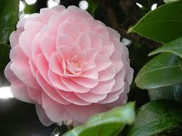 camellia flowers futaba camellia flowers seed price in india buy futaba camellia
