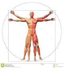 Anatomy Videos Free Download Human Anatomy Vitruvian Man Royalty Free Stock Image Image 29416596