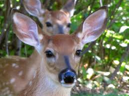 Facts About Georgia State Flag Georgia State Mammal White Tailed Deer