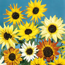 mr f u0027s sunflower mix seeds from mr fothergill u0027s seeds and plants