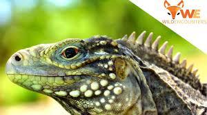 iguana island iguana island youtube