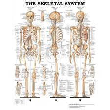 Anatomy And Physiology Human Body 9 Best Images About Bones On Pinterest Ribs Human Anatomy And
