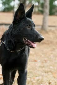 belgian sheepdog breeders pa kohnen von klugh