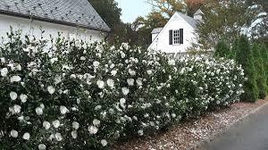 planting a native hedge yuletide camellia monrovia yuletide camellia