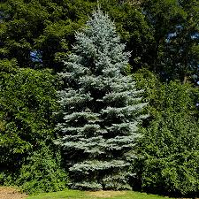 blue spruce trees blue spruce blue spruce growing tree and fast growing