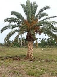 native plants of south carolina palm varieties