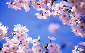 cherry blossom flowers cherry blossom flower hd widescreen wallpaper flowers backgrounds