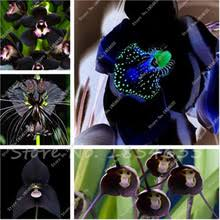 black orchid flower popular black orchid seeds buy cheap black orchid seeds lots from