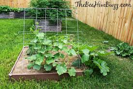 the bee hive buzz grow the perfect cucumber patch backyard