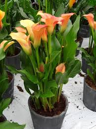 calla colors zantedeschia calla mercedes from growing colors