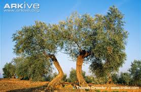 olive photos and facts olea europaea arkive