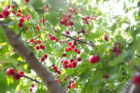 Cherry Tree Fruit - george washington never chopped down a cherry tree