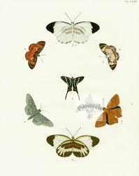 pieter cramer butterflies 1775