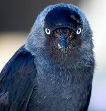 bird u0027s u201cevil eye u201d scares off competitors u2013 national geographic