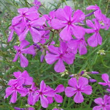 phlox flower narrow leaf carolina phlox growing nursery