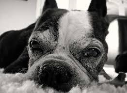 Temporary Blindness In Dogs Blindness In Dogs And Cats Indicate A Life Threatening Condition