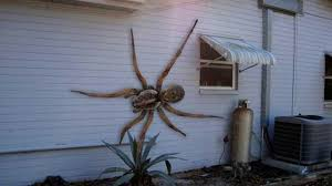 Hawaiian House World U0027s Biggest Hawaiian Cane Spider Attacks House Youtube
