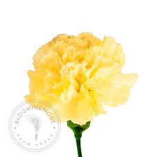 Wholesale Carnations Fresh Wholesale Carnations Free Shipping Nationwide U2013 Bloomingmore