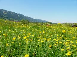 meadow wikipedia