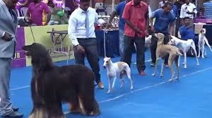 afghan hound kennel in australia afghan hound rajapalayam dog in chennai dog show india 2015 ymca