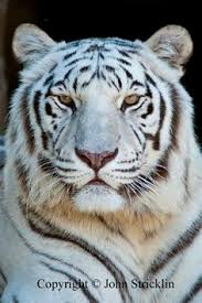 siberian tiger not sure where i d put him but i sure wouldn t
