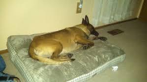 belgian malinois in ohio facebook followers help return police dog to his partner