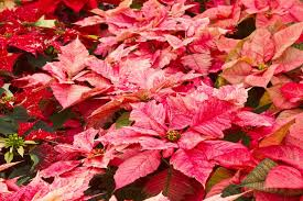 christmas plants 7 plants in christmas traditions learn the lore