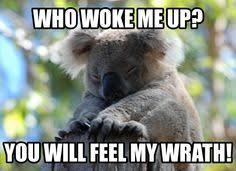 Angry Koala Meme - funny koala memes though some suggestion word used might be