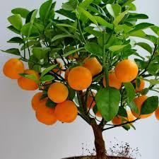 clementine mandarin orange trees nature nursery