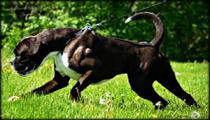 boxer dog reverse brindle removing dew claws u0026tail docking