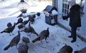 Backyard Turkeys How Eileen Buckley Became U0027the Crazy Turkey Lady U0027 The Weston Forum