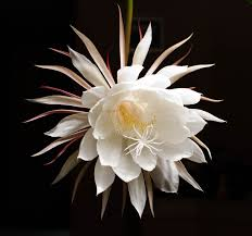 night blooming cereus from the homeliest of plants comes the