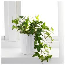 hedera helix potted plant ivy 13 cm ikea