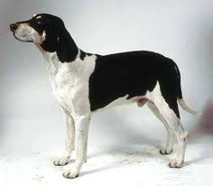 bluetick coonhound genetics driftwood blue reno an all blue example of an old style or gascons