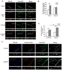 Mobilize Anti Flag Mechanism Underlying Activity Dependent Insertion Of Trkb Into The