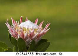 Protea Flower Free Art Print Of White King Protea Flower The White King Protea
