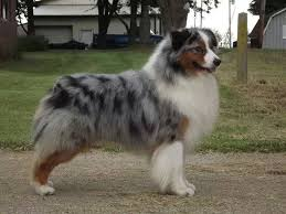 australian shepherd akc x u0027sells the drums are drumming