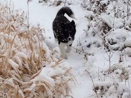 american eskimo dog cost in india 40 best canadian eskimo dog images on pinterest sled dogs