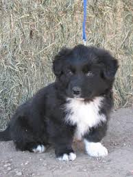 australian shepherd or border collie best 25 border collies for sale ideas only on pinterest cute